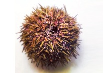 Beautiful whole sea urchin